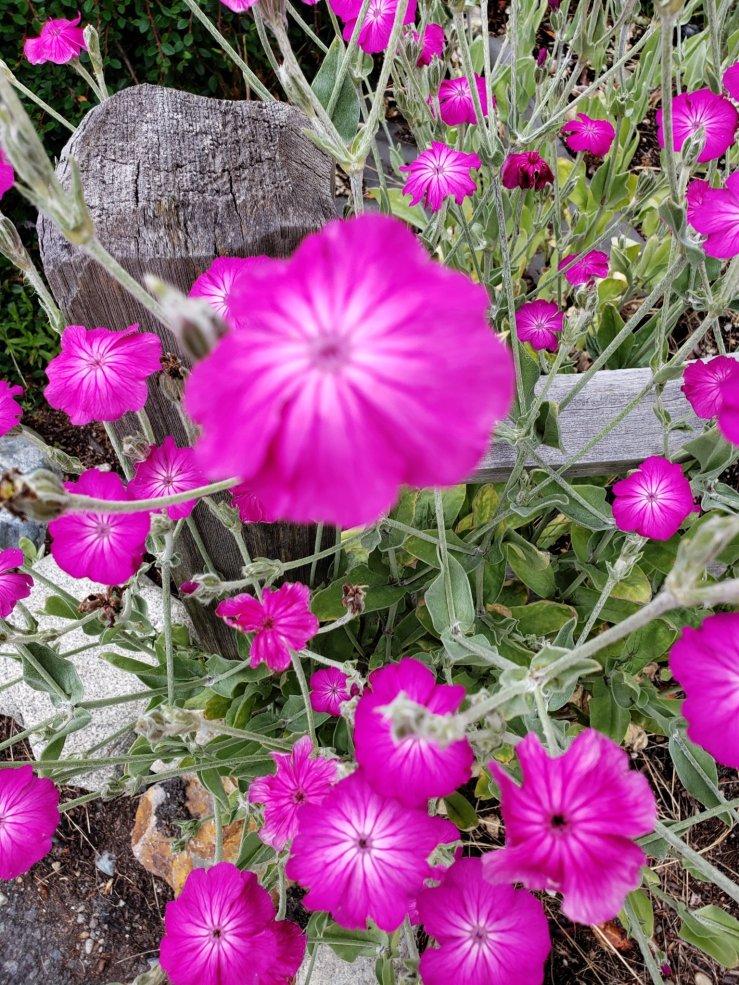 Several violets